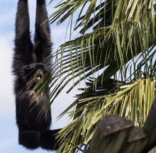 Siamang Gibbon Monkey Swinging...