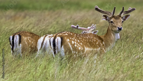 Deurstickers Hert Wild young deer in London, United Kingdom