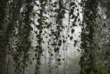 Green Vines Dangle In Foggy Jungle Image