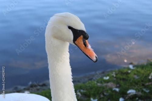 Foto op Plexiglas Zwaan Close up of a swan