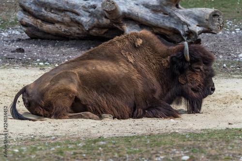Waldbison - Bison bison athabascae - Bos bison
