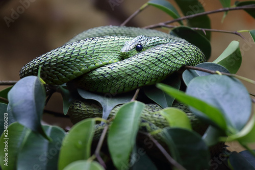 The Great Lakes bush viper or Nitsche's bush viper (Atheris nitschei) is twisted around the green branch with leaves in rainforest