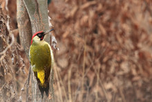 The European Green Woodpecker ...
