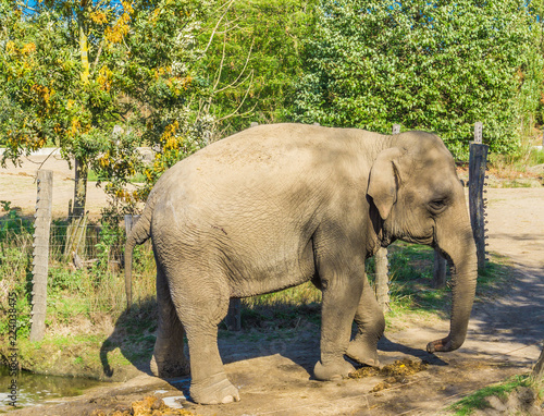 Foto op Aluminium Olifant single brown grey big elephant walking in a nature landscape scene