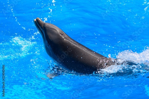 Close up of a dolphin performing in a dolphin show Canvas Print