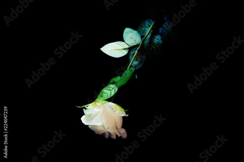 A White Rose Isolated On A Black Background Upside Down