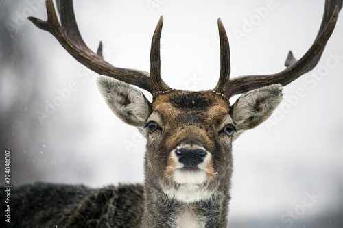 Fotobehang Hert Deer close-up