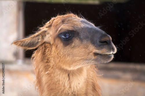 Spoed Foto op Canvas Lama Close up on a lama