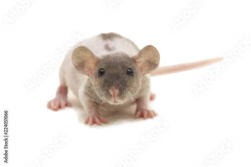 Photo  A small dumbo fuzz rat isolated on white.