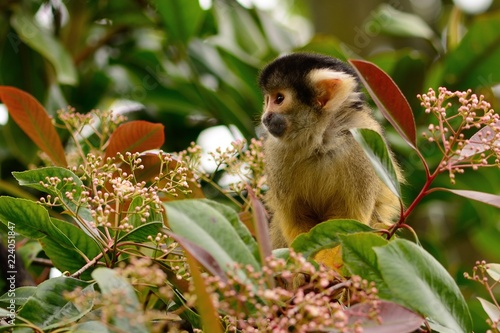 Portrait of a common squirrel monkey (saimiri sciureus) in a tree