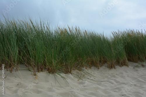 Strandhafer  in den Sanddünen an der Nordseeküste mit blauem Himmel © Claudia Evans