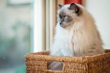This Nice Ragdoll Cat, Is Lyin...