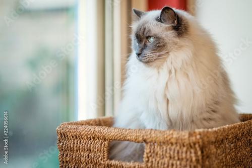 Valokuvatapetti This nice Ragdoll cat, is lying in a rush basket