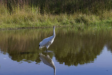 Whooping Crane (Grus Americana) It Is One Of Only Two Crane Species Found In North America.