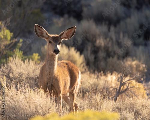 Mule deer - female