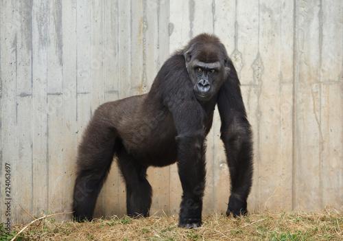Photo sur Toile Singe Western lowland gorilla.