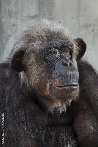 Carta da parati Common chimpanzee (Pan troglodytes)