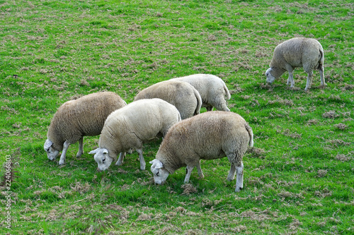 Sheeps in a meadow on green grass. A group of sheep grazing in a field.