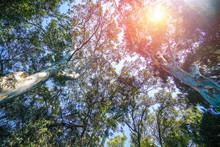 Bottom View Of Two Plane Trees And Yellowish Sun In The Sky