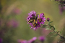 Tiny Skipper Butterfly Feeds O...