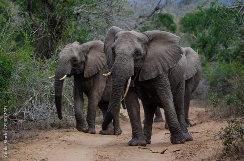 Photo  African Elephant Herd
