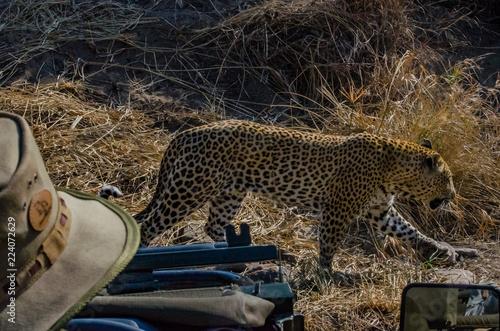 Photo  Leopard Close Encounter