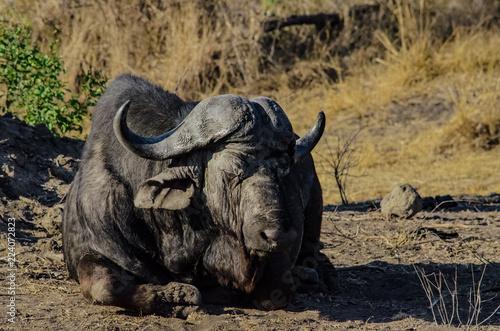 Keuken foto achterwand Buffel Water Buffalo Closeup