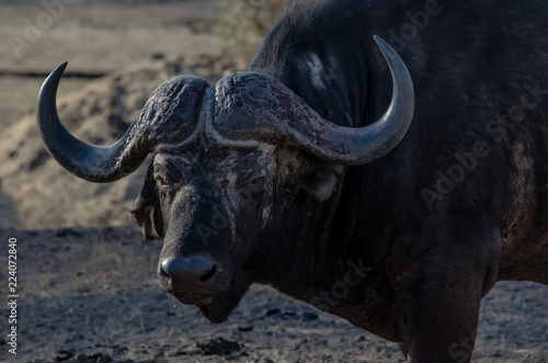 Deurstickers Buffel Water Buffalo Runny Nose