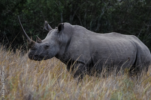 Fotografija  White Rhino Roams