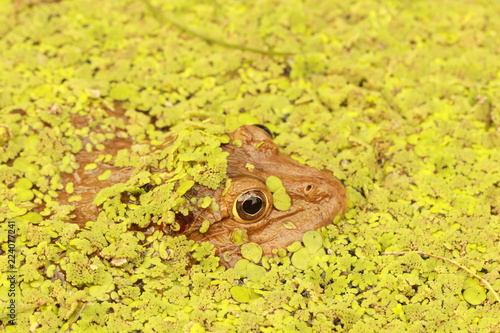Tuinposter Kikker Close up big frog in the pond under duckweed