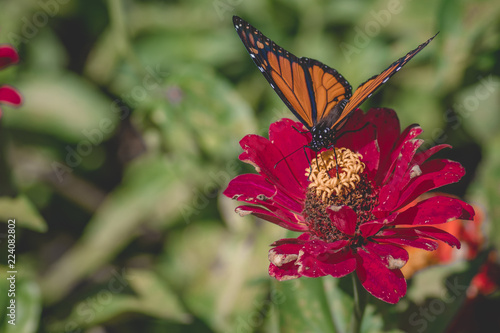 Monarch Butterfly on Flower muted