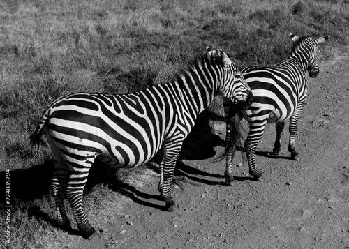 Tuinposter Zebra Wild Zebra in Africa