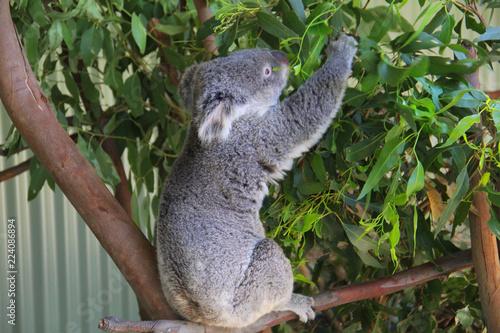 In de dag Koala Koala in Sydney Australia