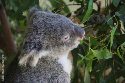 Staande foto Koala Koala in Sydney Australia