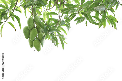 Raw mango fruit on the mango tree isolated with white background.
