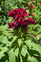 Bright Flowering Celosia Crist...