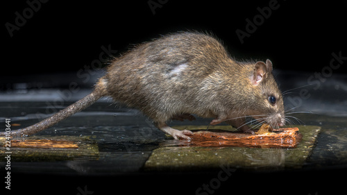 Wild brown rat in water Canvas