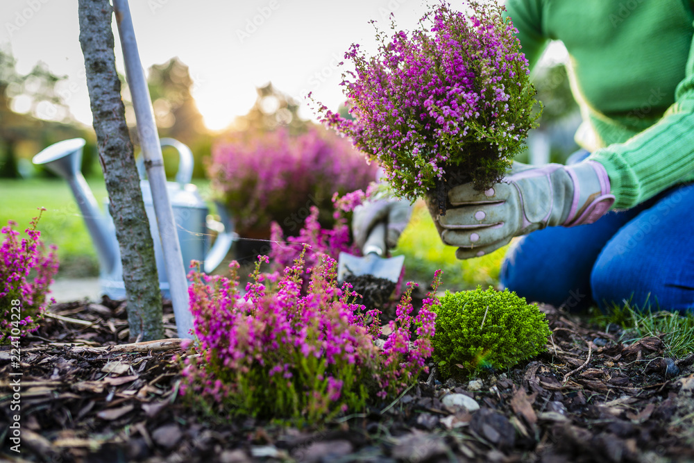 Fototapety, obrazy: Autumn planting heathers in the garden.