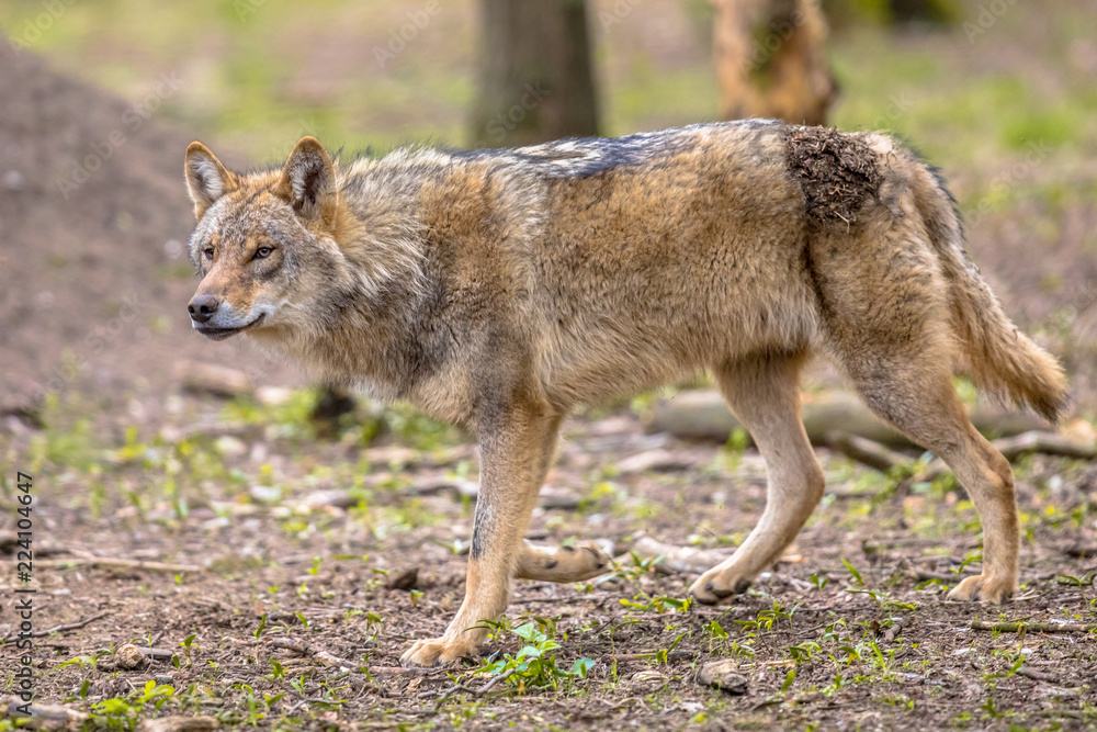 Wolf walking in forest habitat