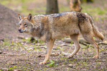 Wolf walking in forest habitat