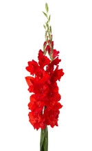 Two Red Gladioluses  Isolated ...
