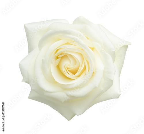 Obraz na płótnie White rose isolated on white background.