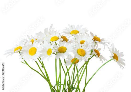 Carta da parati Bouquet of Chamomiles ( Ox-Eye Daisy ) isolated on a white background