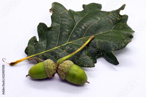 Macro Close Up Of Two Green Acorns Next To A Dark Green Oak