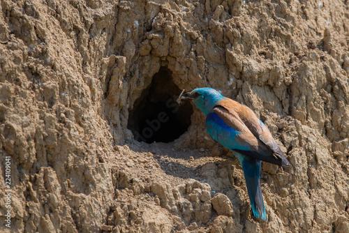 Foto  European roller or coracias garrulus in nest hole