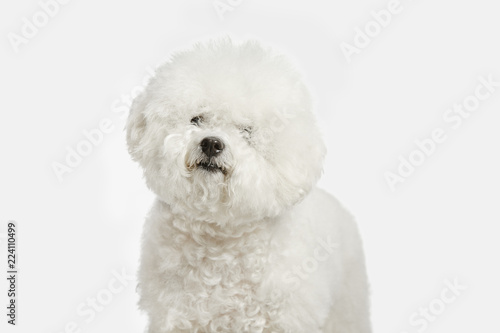 Fotografia, Obraz  A dog of Bichon frize breed isolated on white color studio