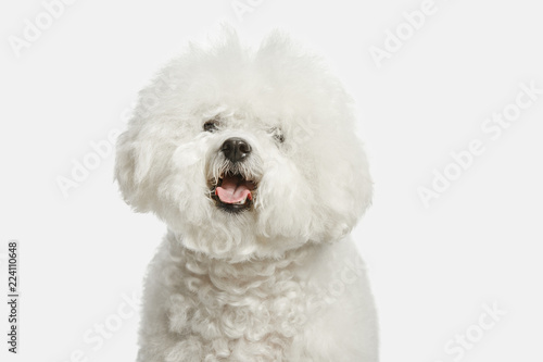 Canvas-taulu A dog of Bichon frize breed isolated on white color studio
