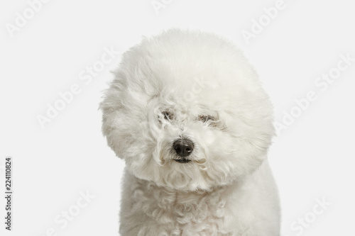 A dog of Bichon frize breed isolated on white color studio Fototapeta