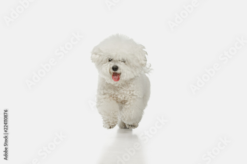 A dog of Bichon frize breed isolated on white color studio Canvas Print