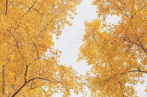 Autumn yellow trees nature scene in autumnal park